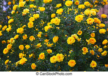 briar yellow rose bush flowers nature background wallpaper