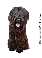 Briard dog in front of a white background