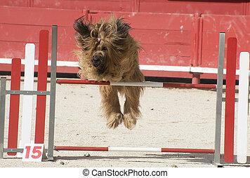 briard in agility