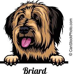 briard, odizolowany, wizerunek, głowa, psy, breed., farba ...