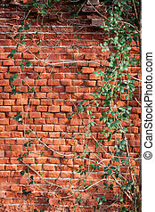 Brick wall covered with creeping ivy