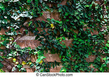 Brick Wall covered with ivy
