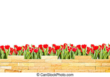 brick wall with beautiful red tulips behind and white background