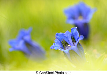 bright;, アルプス, リンドウ, flora;, flower;, natural;, yellow;, orange;, gentiana, green;, landscape;, nature;, white;, red;, gentiana, colourful;, spring;, colorful;, color;, vivid;, acaulis, 飽和させなさい, colour;, springtime;