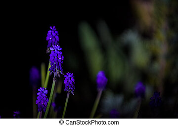 Bright and unusual blue and violet small flowers on a monophonic black background. Night photographing in a garden.