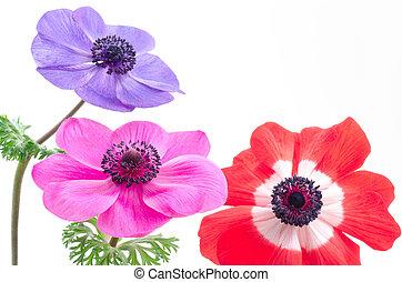 Bright anemone flowers