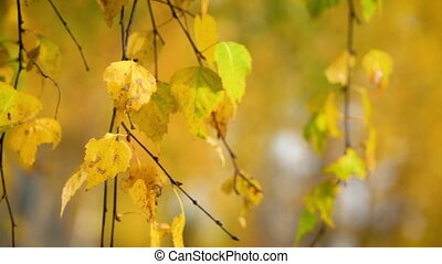 Bright autumn birch leaves moving in wind