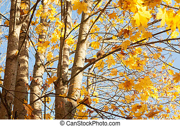 Bright autumn branches of a maple tree on blue sky background with sitting squirrel.