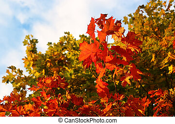 Bright autumn branches of maple tree