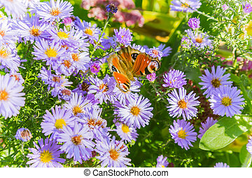 Bright autumn floral natural background with butterfly on purple flowers in a flowerbed in the garden. Indian summer. Sunny day.