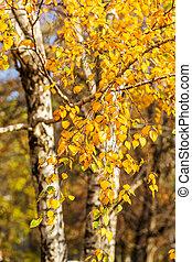 Bright autumn foliage of a birch tree