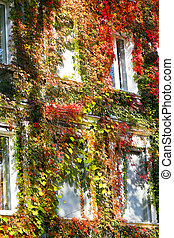 Bright autumn leaves curl on the facade of urban buildings.