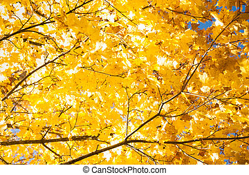 Bright autumn leaves of a maple tree on sky background.