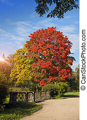 bright autumn maple