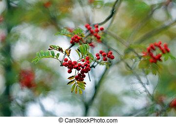 Bright autumn rowan berries on a branch