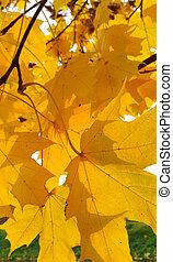 Bright autumn yellow foliage of maple tree