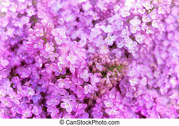 Bright, beautiful large flowers of purple lilac.