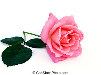 bright beautiful pink rose