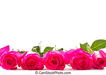 bright beautiful pink roses