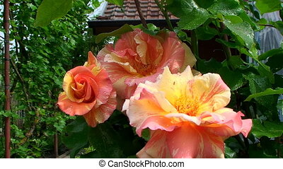 Bright, beautiful shrub roses rose on the background of country house