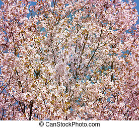 background cherry blossoms