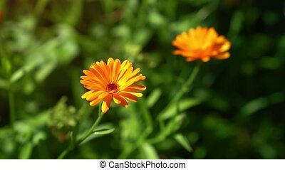 Specimen of Calendula arvensis, with its typical, bright flowers, swaying in a breeze in their natural environment.