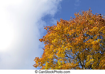 Bright blue autumn sky and orange maple tree background -...