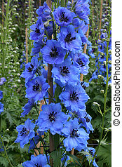 Bright blue delphinium spike