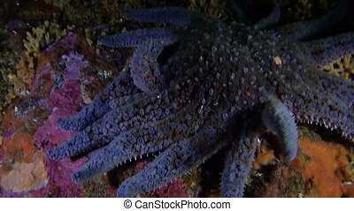 Bright blue starfish and on background seabed underwater in ocean of Alaska.