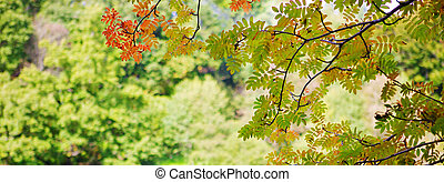 Bright colored leaves on the branches hanging . - Autumn...