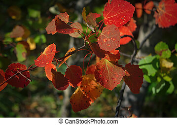 An aspen branch with bright red autumn leaves close-up.