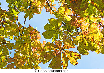 Bright colorful branches of chestnut with autumn leaves on a background of blue sky close up
