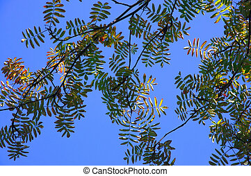 Bright colorful branches of rowan with autumn leaves on a blue sky background