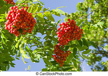 Bright colorful green branches of mountain ash with red berries on a blue sky background