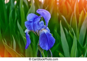 Bright colorful iris flowers on a background of the spring landscape.
