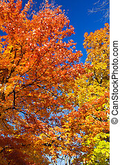 Bright colorful leaves on Fall trees on blue sky background