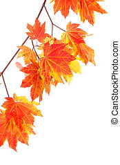 Bright colorful maple leaves isolated on white