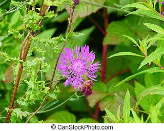 bright cornflower flower in the grass