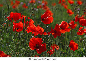 poppy - bright; europe; flora; flower; nature; poland;...