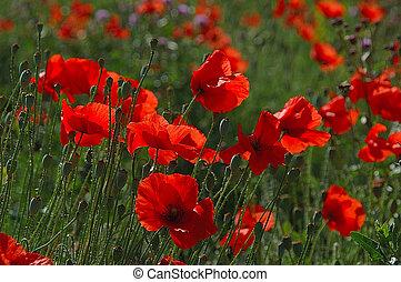 bright; europe; flora; flower; nature; poland; poppy; red; seed; shoot; summer; wild; white; blue