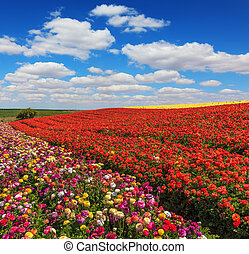 Bright festive red blooming field
