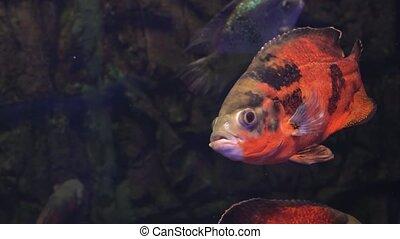 Bright fish swim in the aquarium - Bright colorful fish swim...