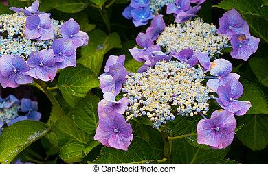 Bright flowers of purple hydrangeas in the garden.