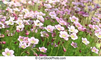 bright flowers swaying - Bright spring windflower swaying...