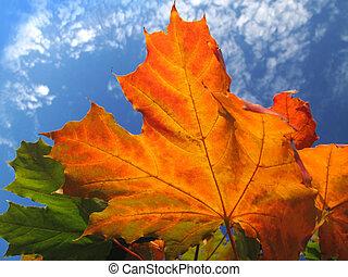 bright foliage of autumn maple tree