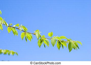 Bright fresh green leaves of the Chonowski's hornbeam tree...