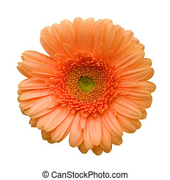 Bright gerber - Daisy on isolated white background