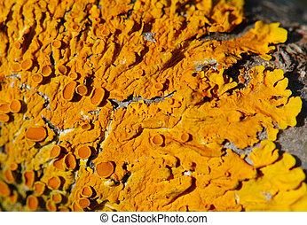 bright golden lichen Xanthoria parietina background