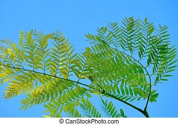 Gleditsia leaves