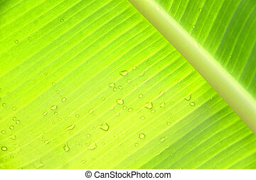 Bright green banana leaf with water drops